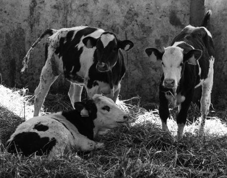 Three young healthy calves stand in a stall with hay
