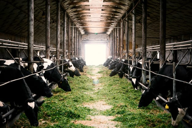 Cows in a feeding shed eating grass